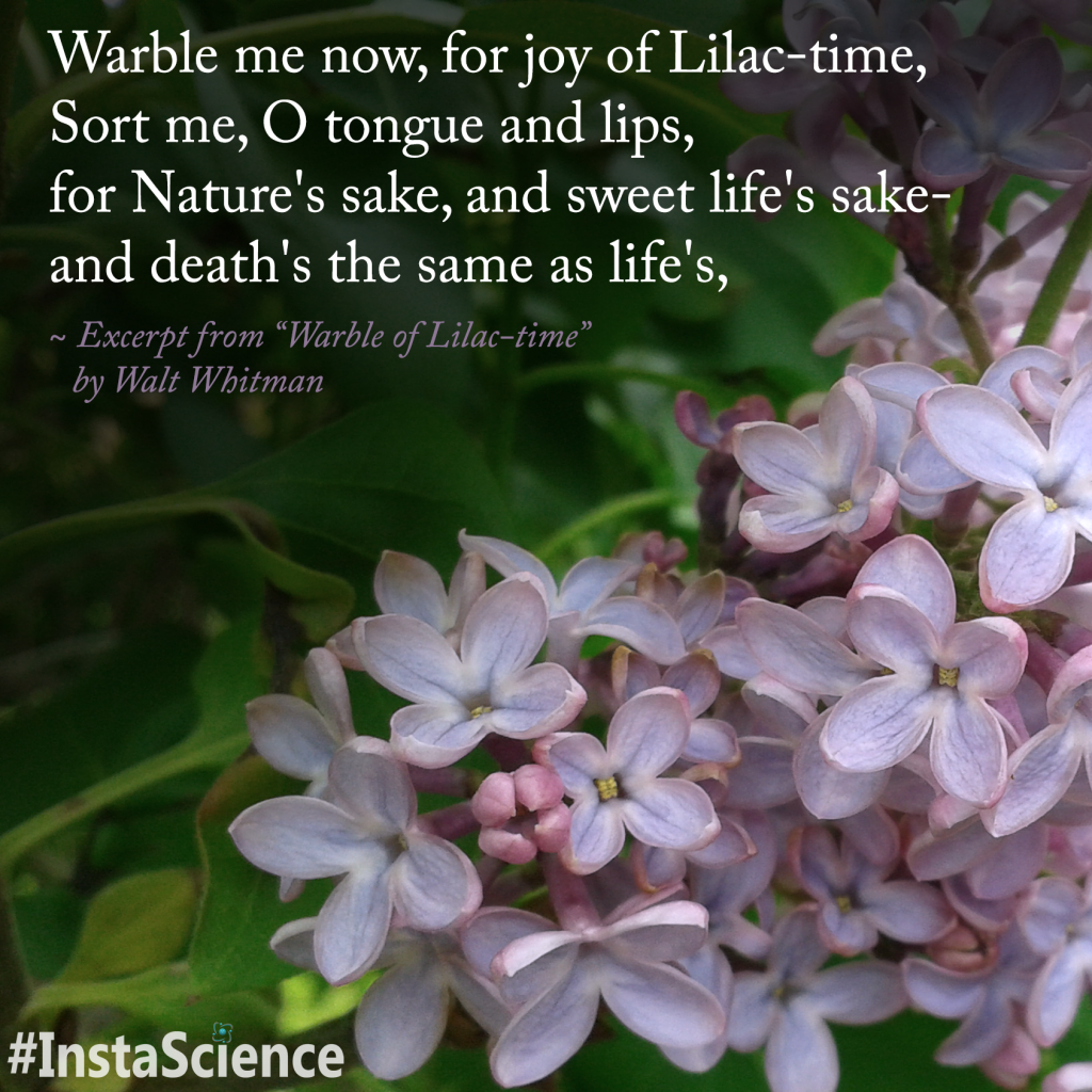 """""""Warble of Lilac-time"""" by Walt Whitman   Learn more about lilacs with InstaScience from Elemental Blogging"""