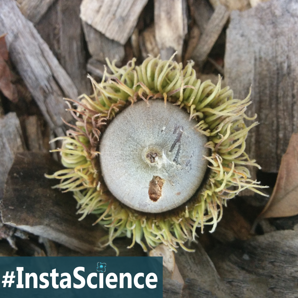 Acorns are the seeds of oak trees but it takes a really long time for an oak tree to start producing them. Learn how long in this article!