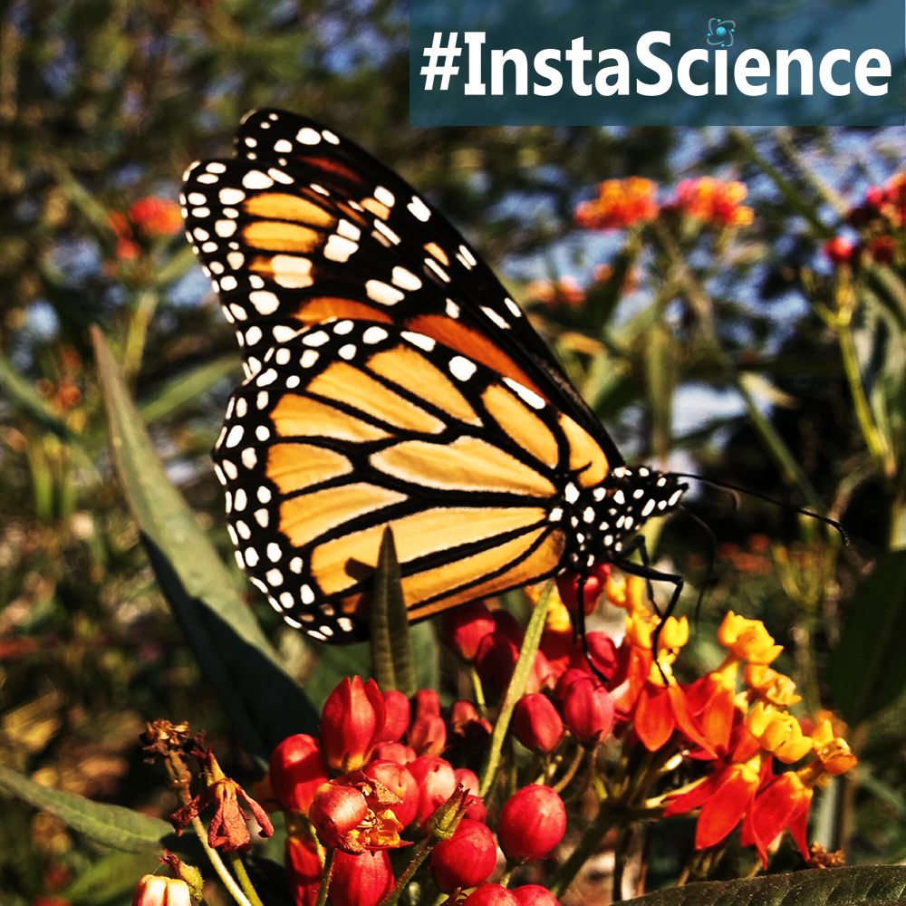 Every year around this time we head outdoors for a special treat - the monarch butterfly! Click on over to learn about the king of butterflies!