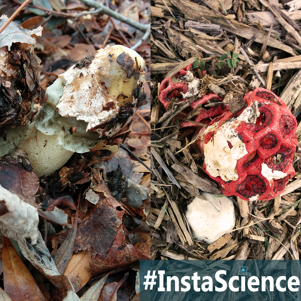 Learn about Stinkhorn Mushrooms in an instant with this information, activity, and free printable!