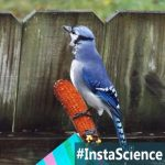 It Mimics A Hawk And Serves As A Mascot – The Beautiful Blue Jay