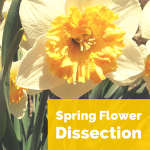 Science Corner: Spring Flower Dissection
