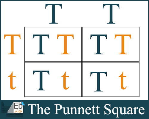The Punnett Square {FREE Printable Included from Elemental Blogging}