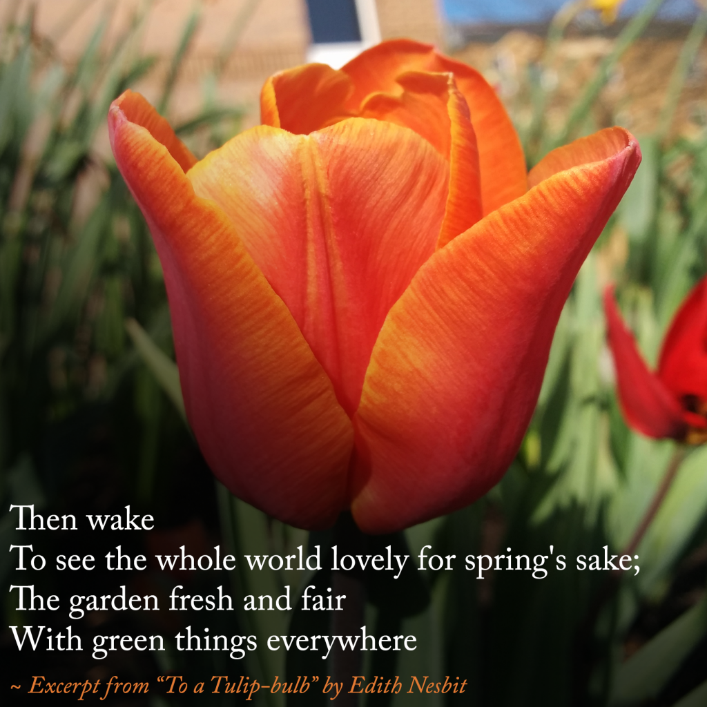 """""""To a Tulip-bulb"""" by Edith Nesbit 