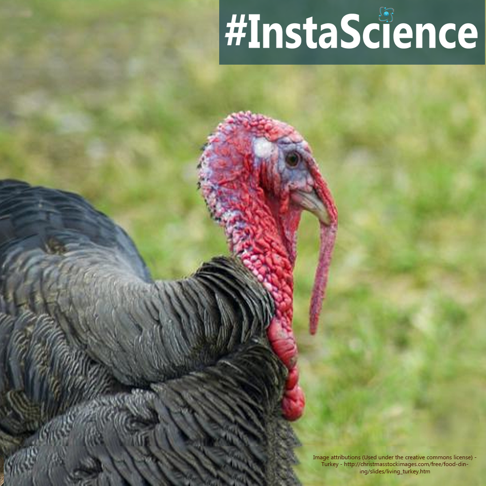 Learn about turkeys in an instant with this information, activity, and free printable!