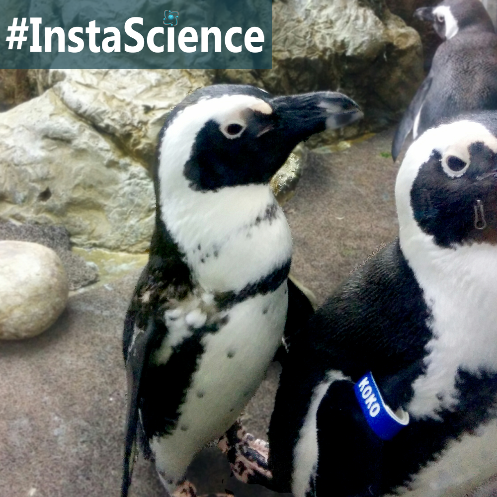 Learn about penguins in an instant with this information, activity, and free printable!