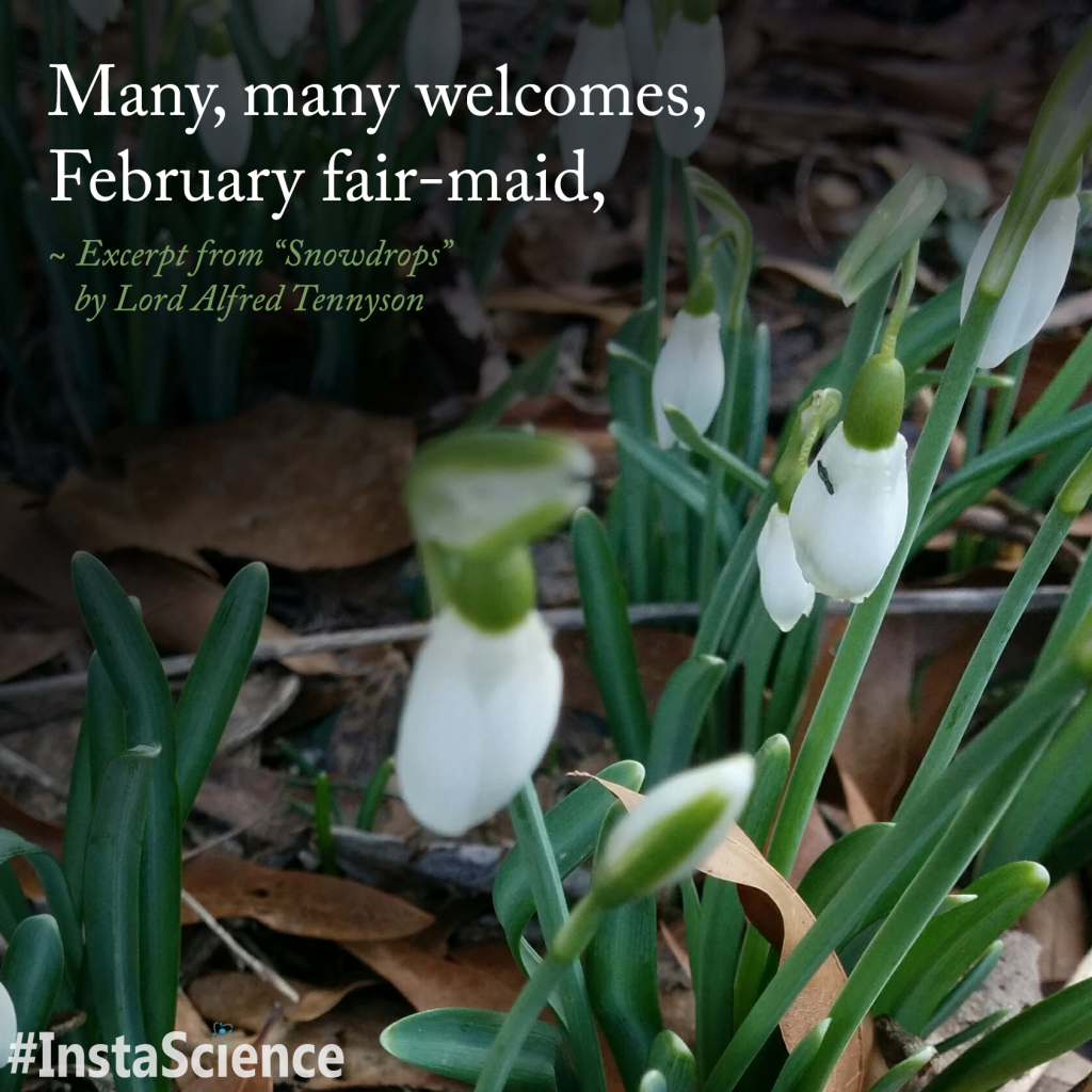 """""""Snowdrops"""" by Lord Alfred Tennyson"""